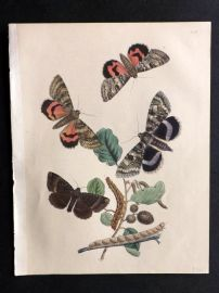 Humphreys & Westwood British Moths 1845 Hand Col Print 55